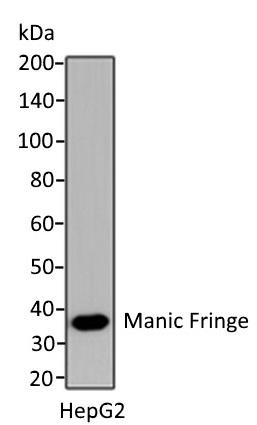 Anti Manic Fringe Antibody gallery image 1