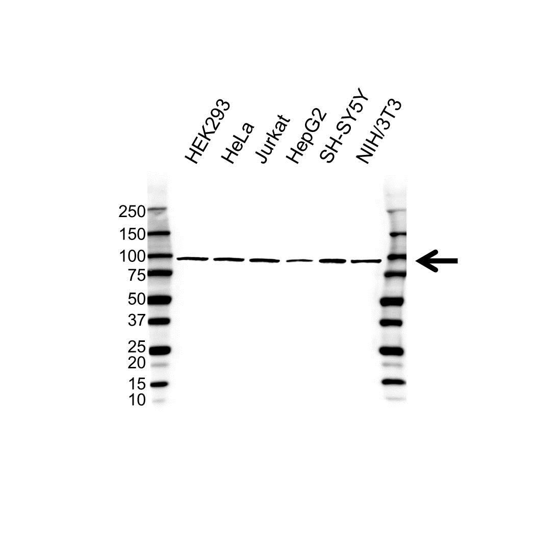 Anti MAP3K12 Antibody (PrecisionAb Polyclonal Antibody) gallery image 1