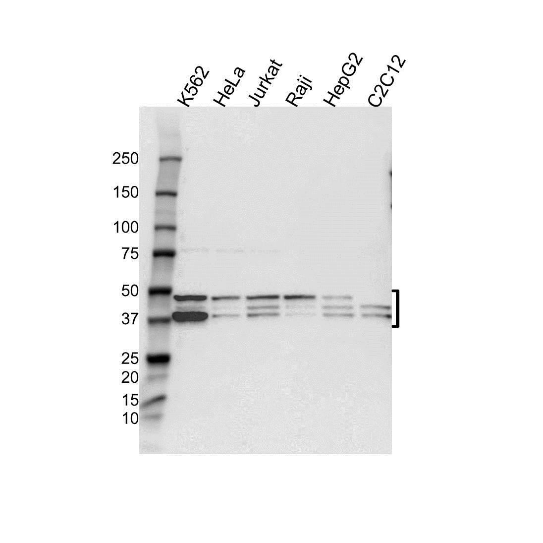 Anti MAPK1 Antibody (PrecisionAb™ Polyclonal Antibody) gallery image 1
