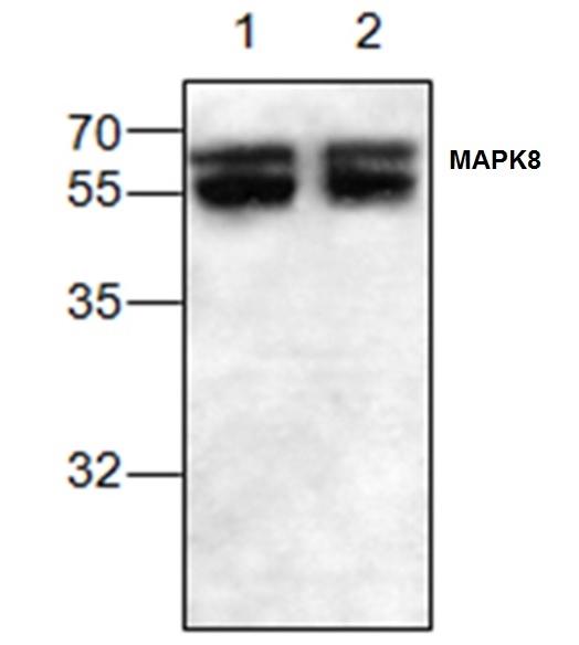 Anti MAPK8 / JNK1 Antibody gallery image 1