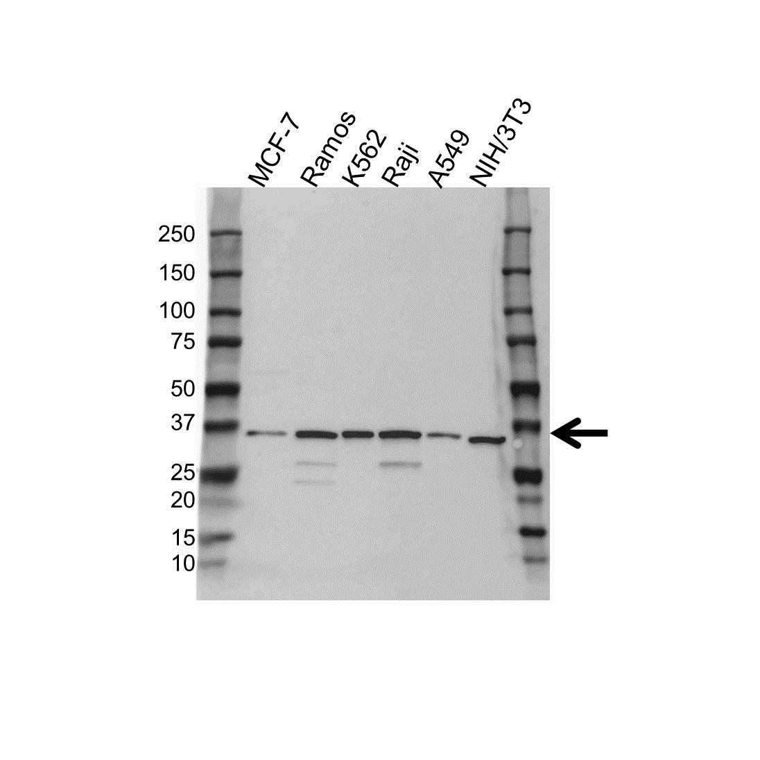 Anti Mcl-1 Antibody (PrecisionAb Polyclonal Antibody) gallery image 1