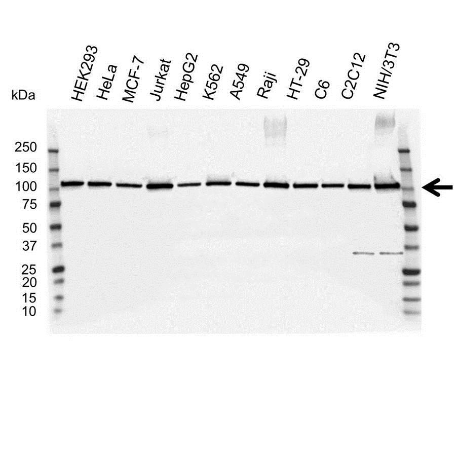 Anti MCM6 Antibody (PrecisionAb™ Polyclonal Antibody) gallery image 1