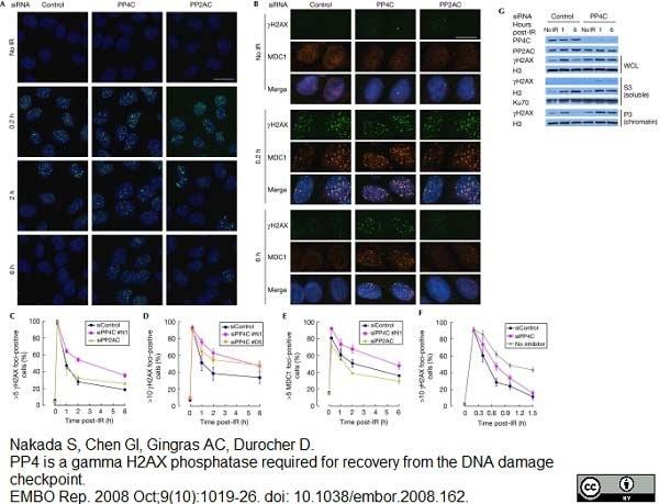 Anti Human MDC1 (aa1883-2089) Antibody thumbnail image 1