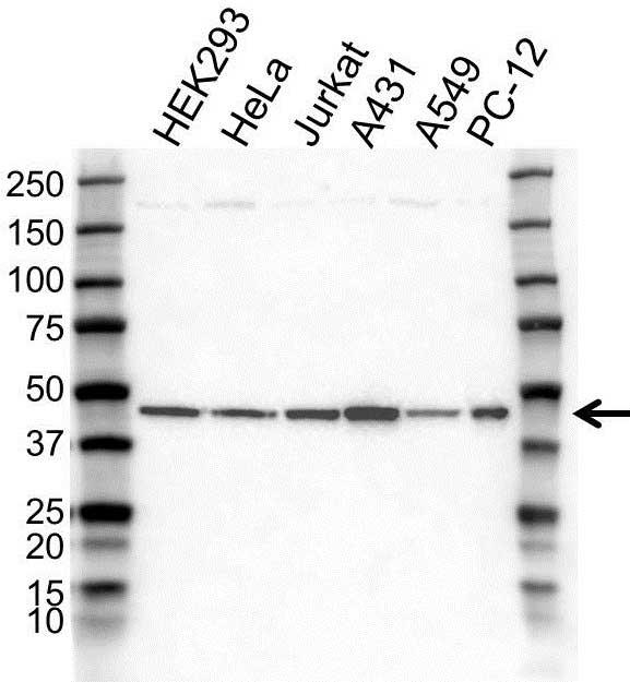 Anti MEK 1 Antibody (PrecisionAb Polyclonal Antibody) gallery image 1