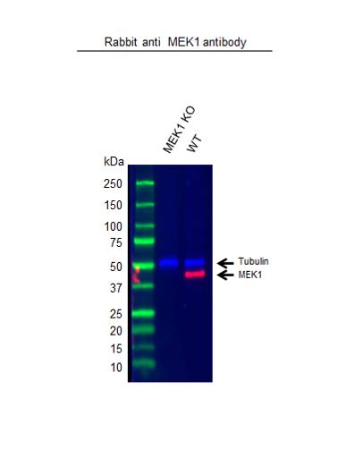 Anti MEK 1 Antibody (PrecisionAb Polyclonal Antibody) thumbnail image 2