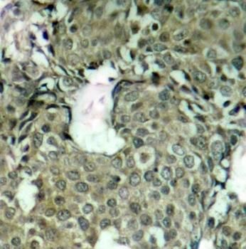 Anti MEK 1 (pSer221) Antibody thumbnail image 2