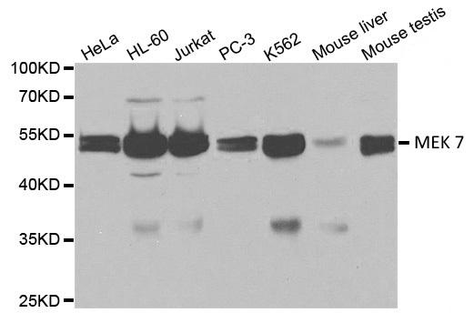 Anti MEK 7 Antibody thumbnail image 1