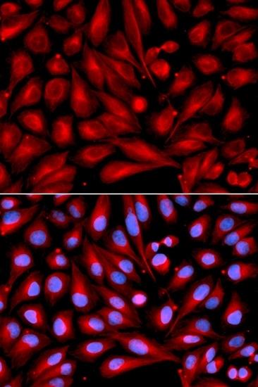 Anti MEK 7 Antibody thumbnail image 3