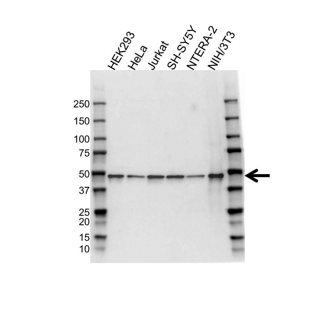 Anti MEK 7 Antibody (PrecisionAb Polyclonal Antibody) gallery image 1