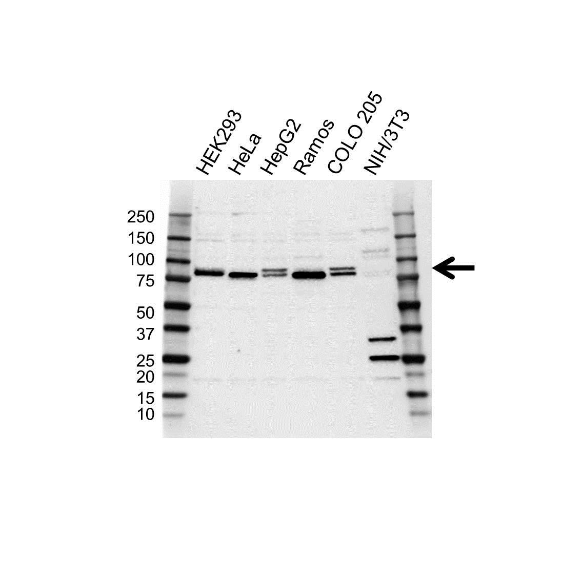 Anti MFN2 Antibody (PrecisionAb™ Polyclonal Antibody) gallery image 1