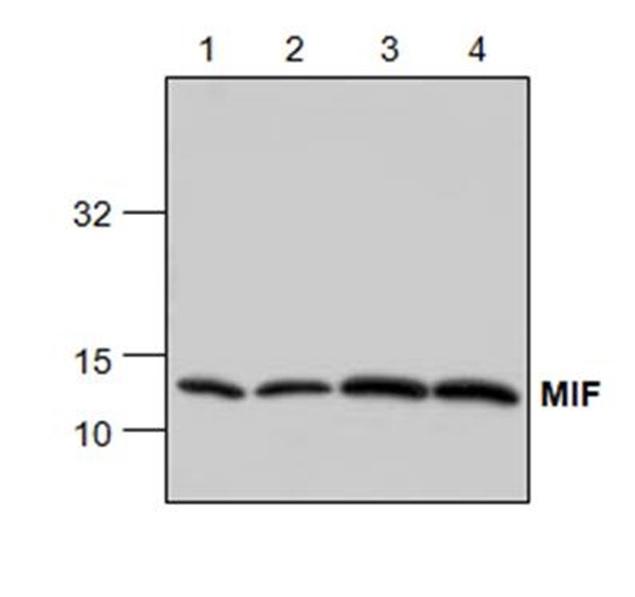 Anti MIF Antibody gallery image 1