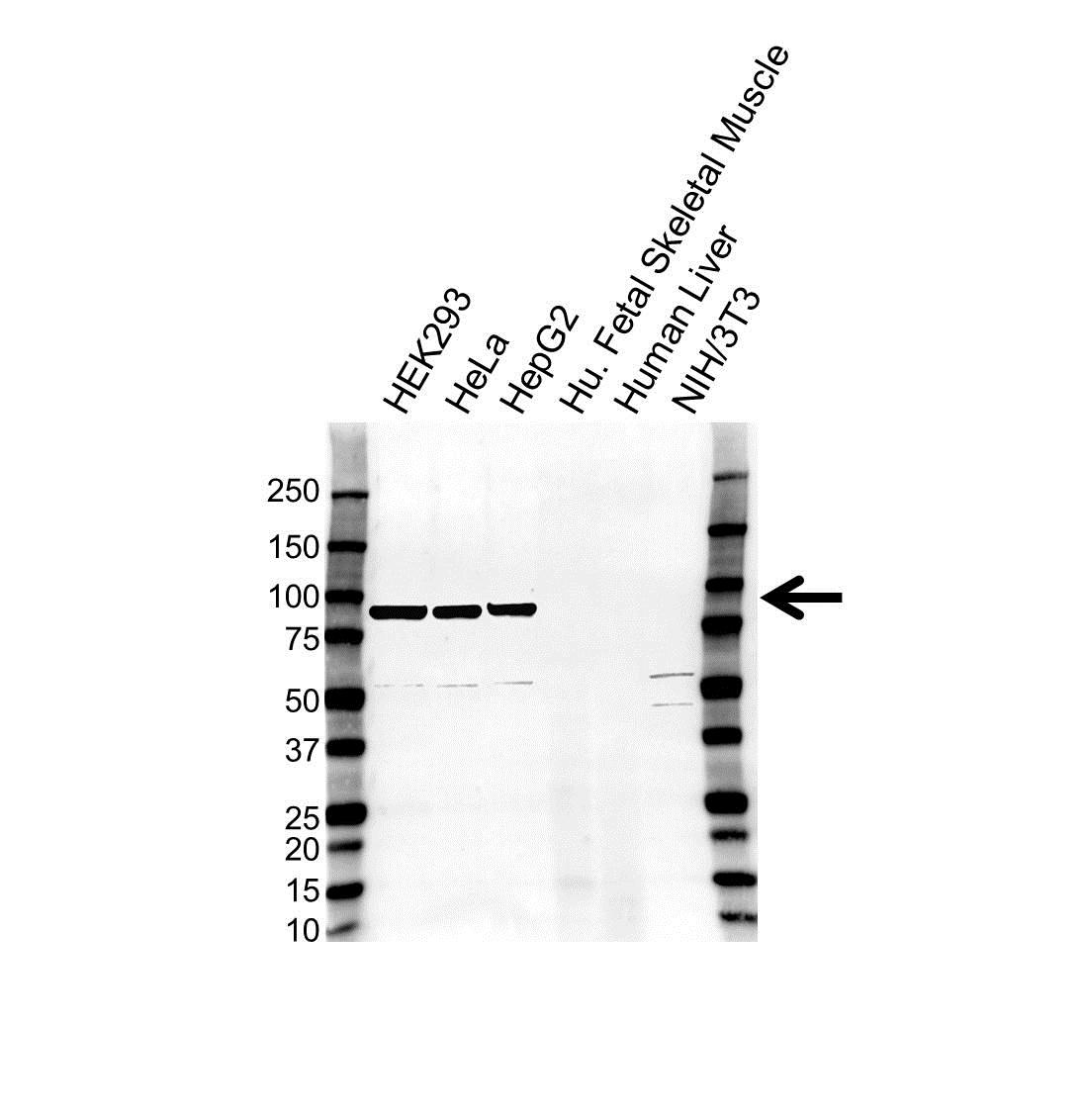 Anti Mitofilin Antibody (PrecisionAb™ Polyclonal Antibody) gallery image 1