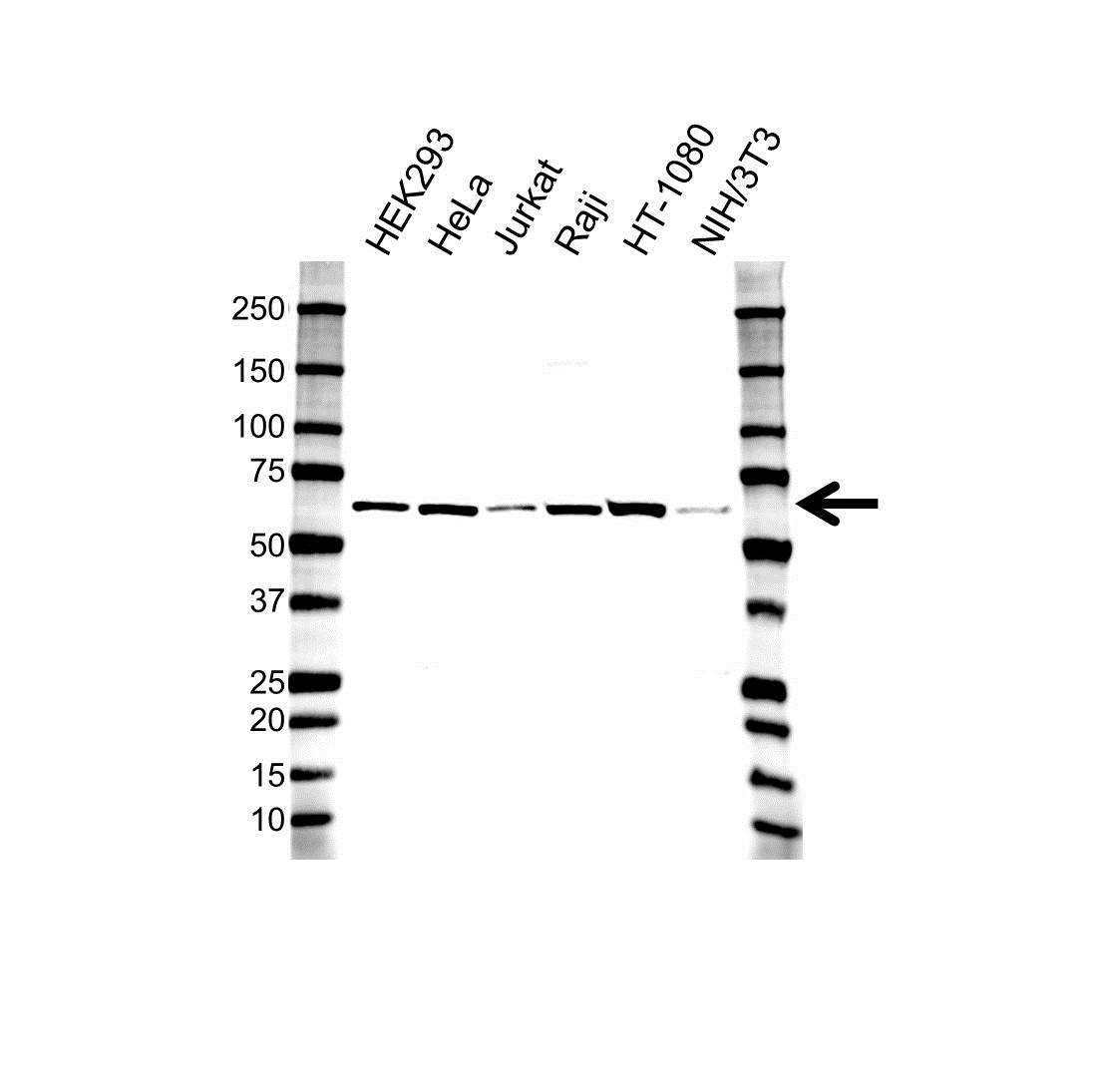 Anti MMP-14 Hemopexin Antibody (PrecisionAb Polyclonal Antibody) gallery image 1