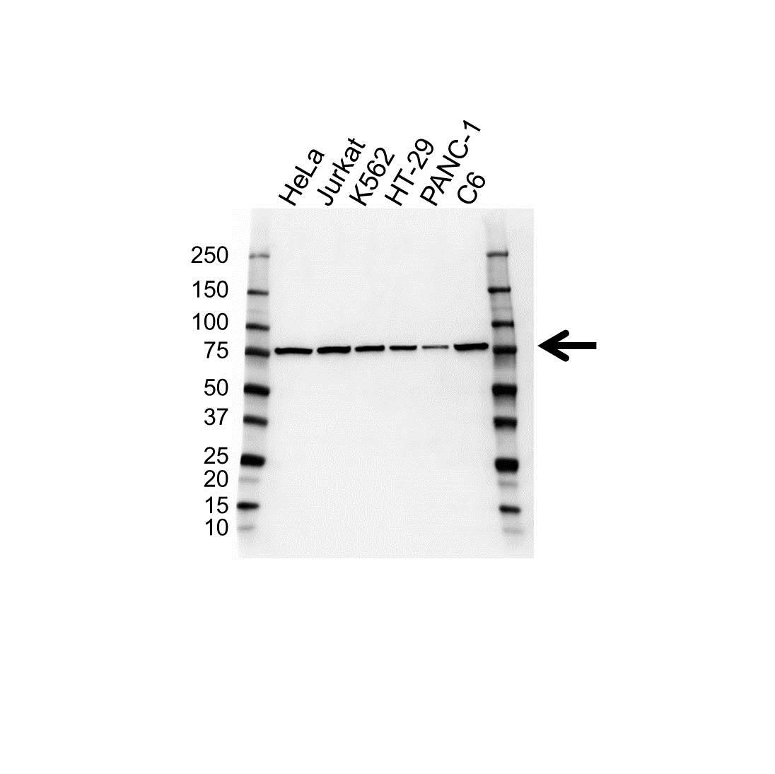 Anti MRE11 Antibody (PrecisionAb™ Polyclonal Antibody) gallery image 1