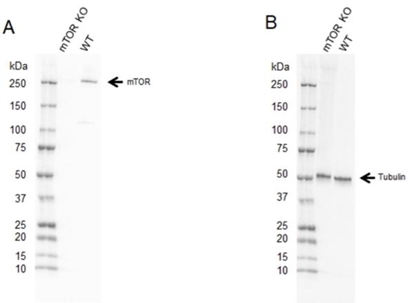 Anti mTOR Antibody (PrecisionAb Polyclonal Antibody) thumbnail image 2