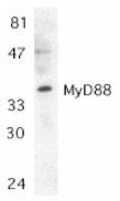 Anti MyD88 (C-Terminal) Antibody gallery image 1
