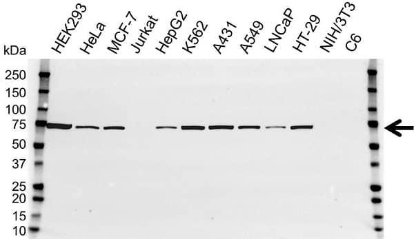 Anti NADPH Oxidase 1 Antibody (PrecisionAb Polyclonal Antibody) gallery image 1