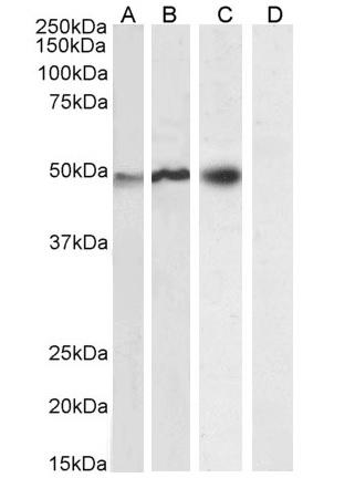 Anti Human NCF1 Antibody thumbnail image 2