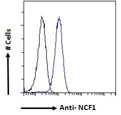 Anti Human NCF1 Antibody thumbnail image 4