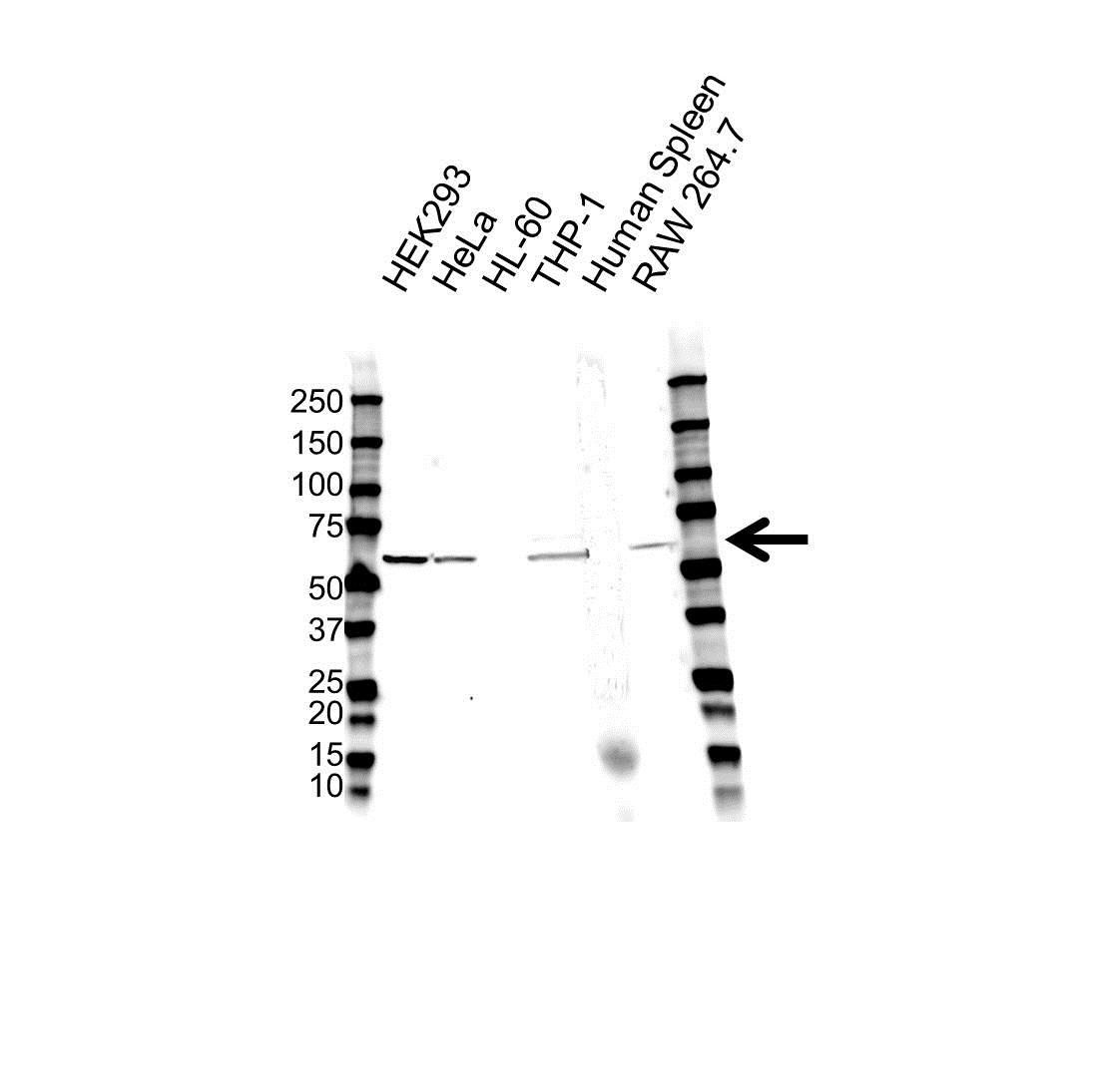 Anti NCF2 Antibody (PrecisionAb Polyclonal Antibody) gallery image 1