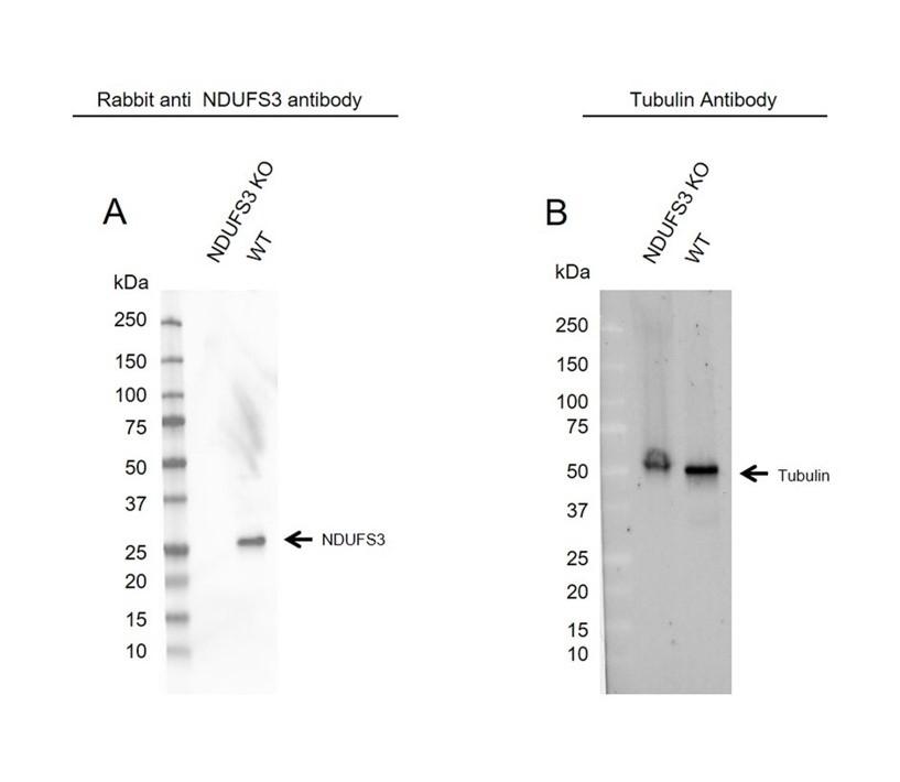 Anti NDUFS3 Antibody (PrecisionAb Polyclonal Antibody) thumbnail image 2