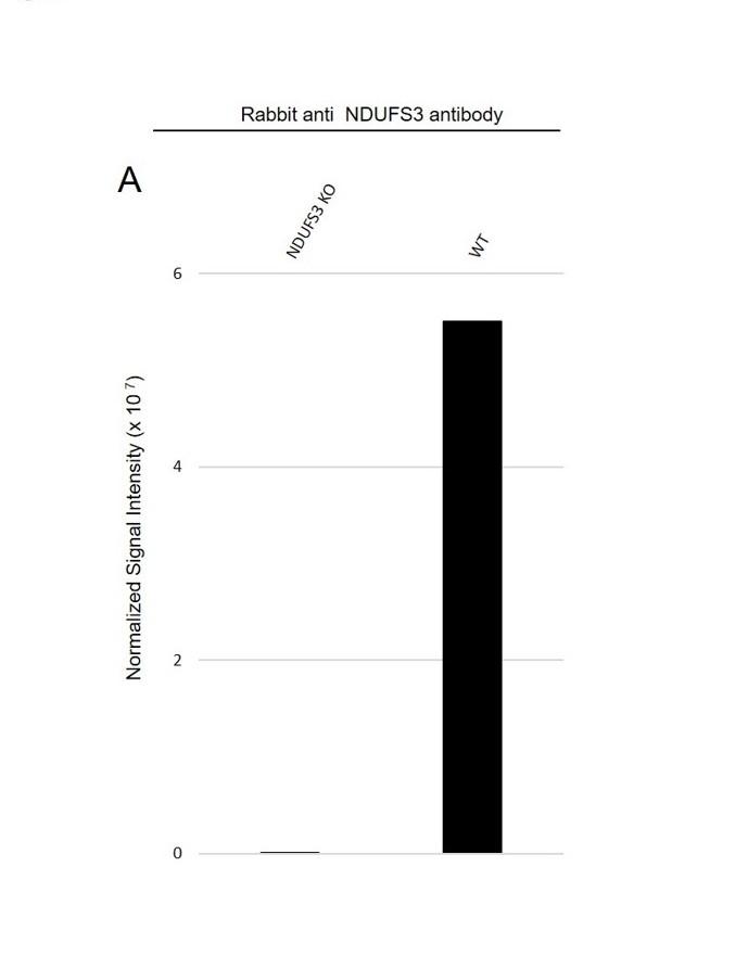 Anti NDUFS3 Antibody (PrecisionAb Polyclonal Antibody) thumbnail image 3