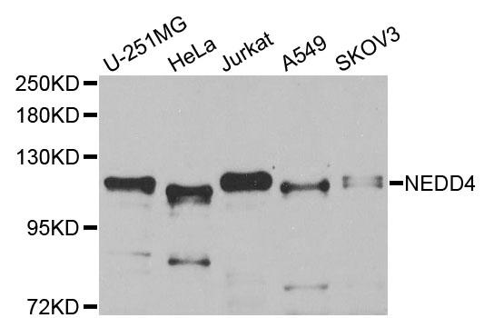 Anti NEDD4 Antibody thumbnail image 1