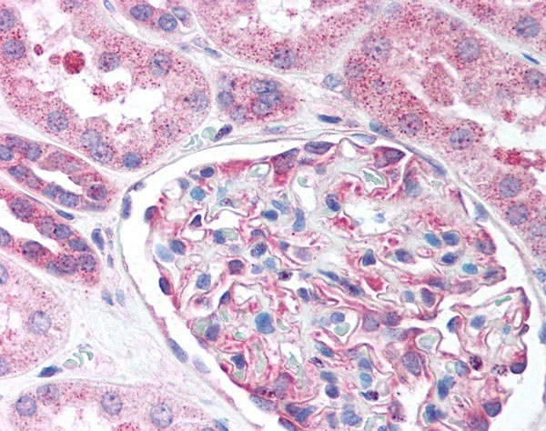 Anti Human Nestin Antibody thumbnail image 2
