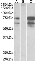 Anti Human Neurexin 1 (C-Terminal) Antibody gallery image 1