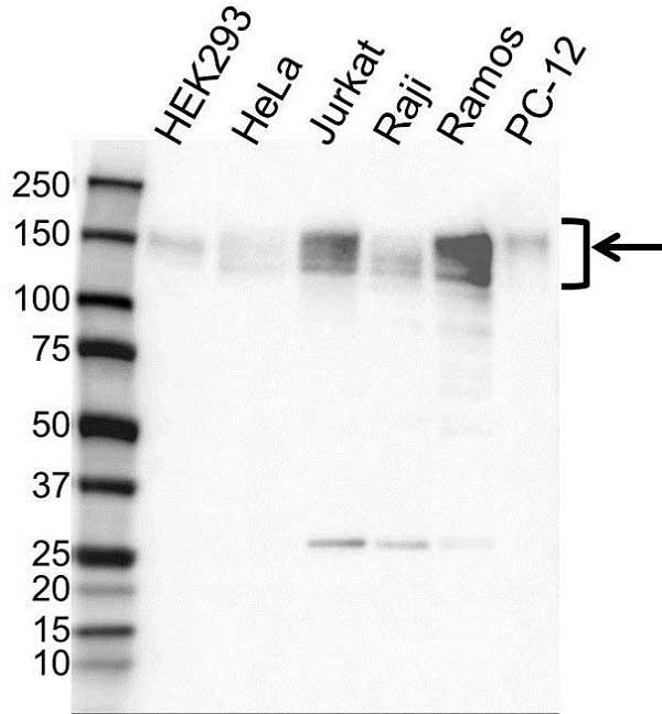 Anti NFAT4 Antibody (PrecisionAb Polyclonal Antibody) gallery image 1