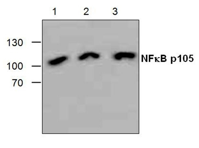 Anti NFkB p105 Antibody gallery image 1