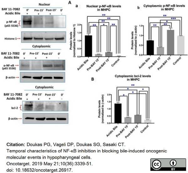 Anti NFkB p65 (pSer536) Antibody thumbnail image 3