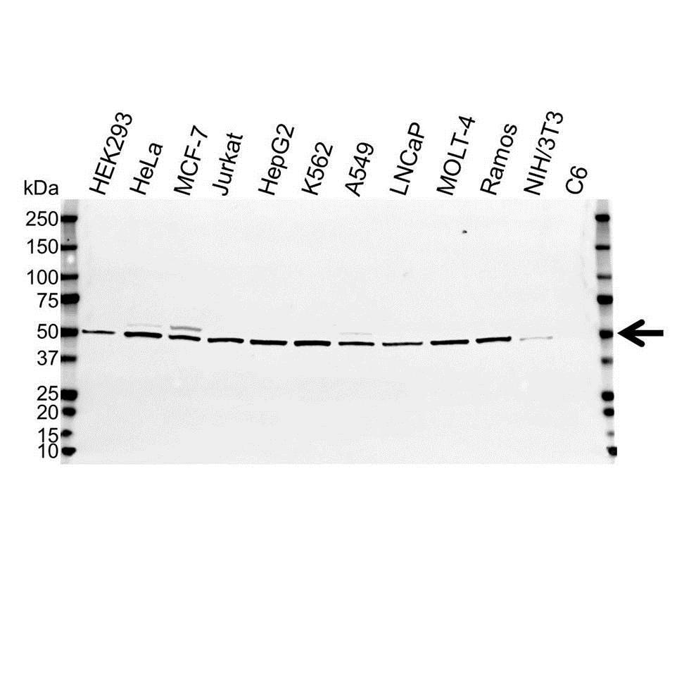 Anti Human Non-Neuronal Enolase Antibody thumbnail image 2