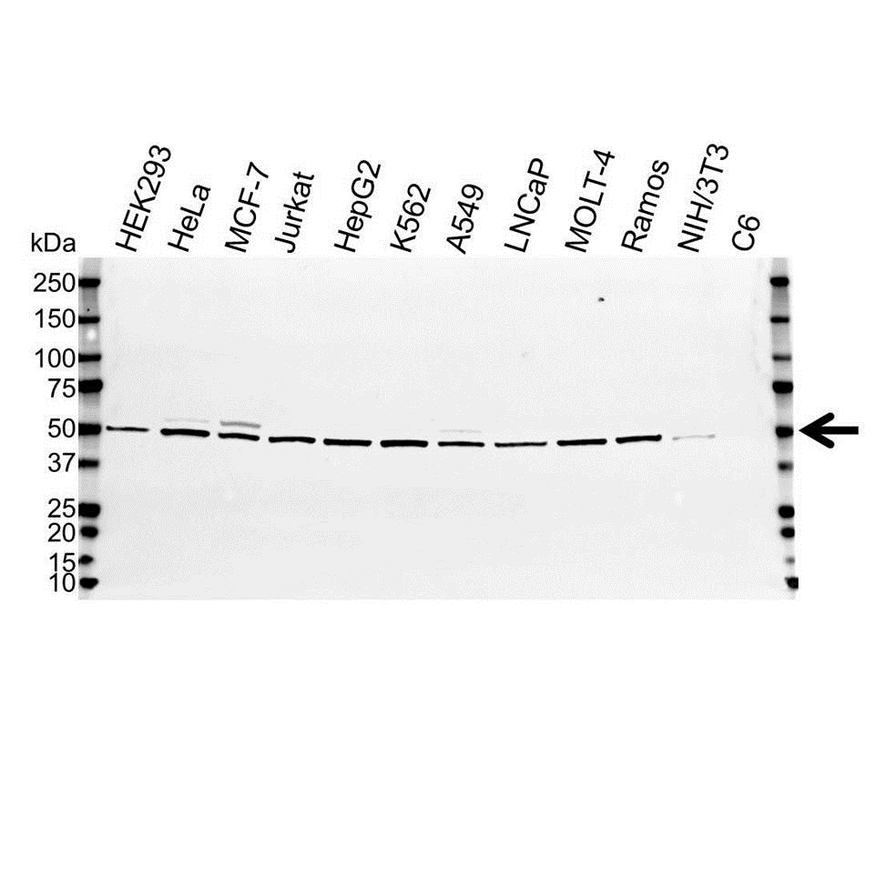 Anti Non-Neuronal Enolase Antibody (PrecisionAb Polyclonal Antibody) gallery image 1