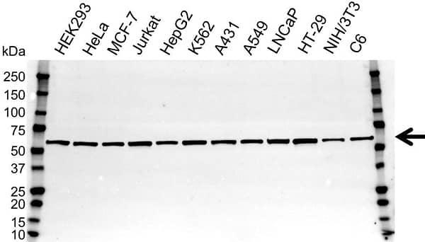 Anti NonO Antibody (PrecisionAb Polyclonal Antibody) gallery image 1