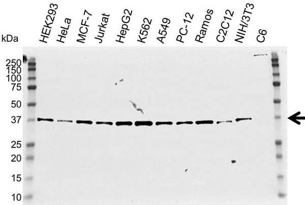 Anti NPM Antibody (PrecisionAb Polyclonal Antibody) gallery image 1
