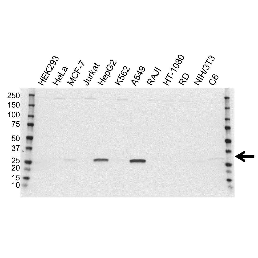 Anti NQO1 Antibody (PrecisionAb Polyclonal Antibody) gallery image 1