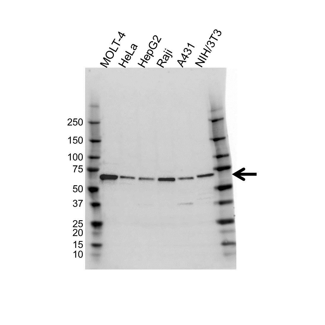 Anti NUP62 Antibody (PrecisionAb Polyclonal Antibody) gallery image 1