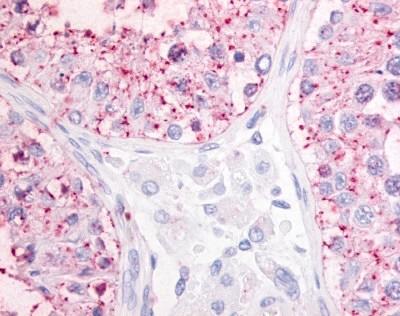 Anti Human OGR1 (N-Terminal) Antibody gallery image 1