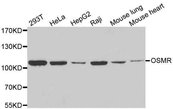 Anti Oncostatin M Receptor Antibody gallery image 1