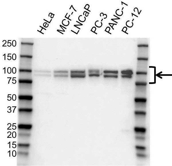 Anti OPA1 Antibody (PrecisionAb Polyclonal Antibody) gallery image 1