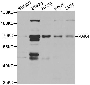 Anti PAK4 Antibody thumbnail image 1