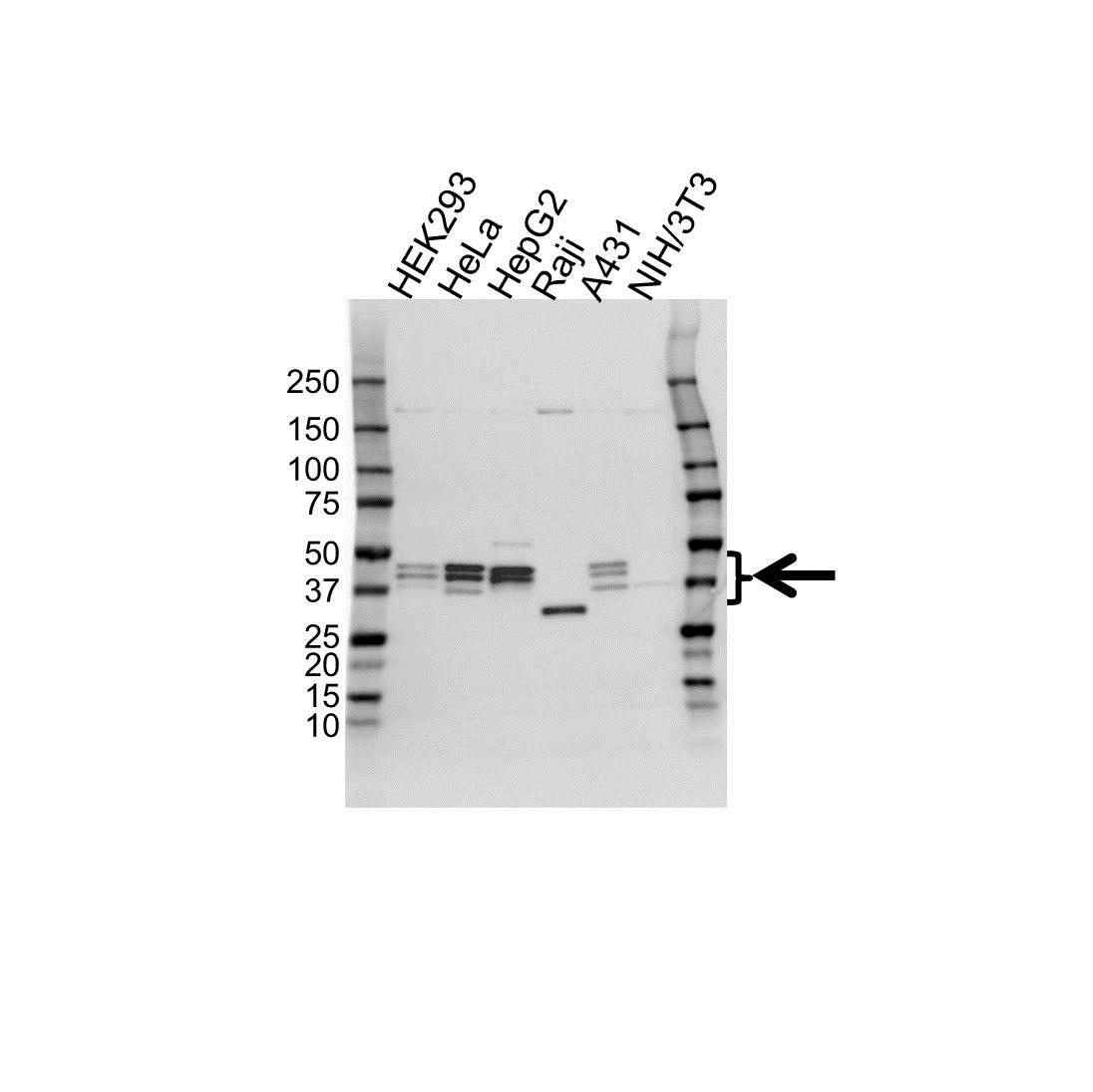 Anti Paraoxonase 2 Antibody (PrecisionAb Polyclonal Antibody) gallery image 1