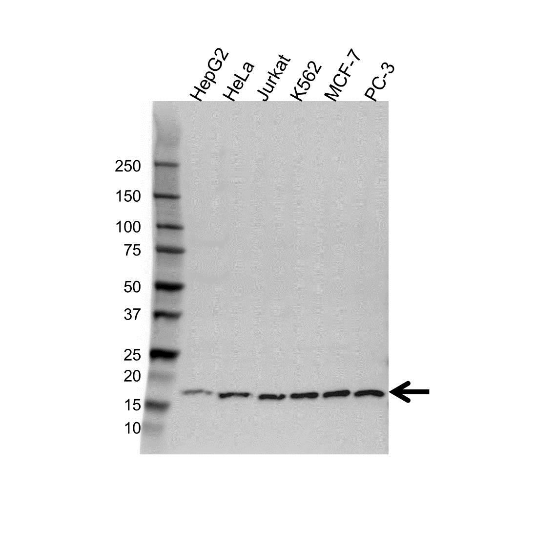 Anti PC4 Antibody (PrecisionAb Polyclonal Antibody) gallery image 1