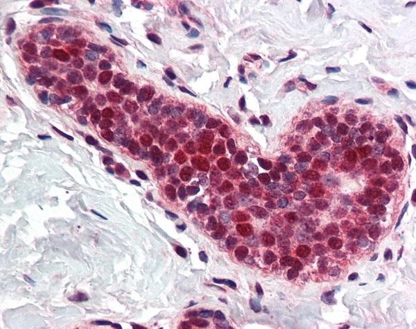 Anti PCNA Antibody thumbnail image 2