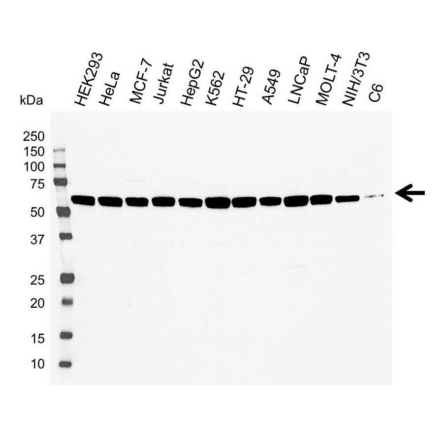 Anti PDCD4 Antibody (PrecisionAb Polyclonal Antibody) gallery image 1