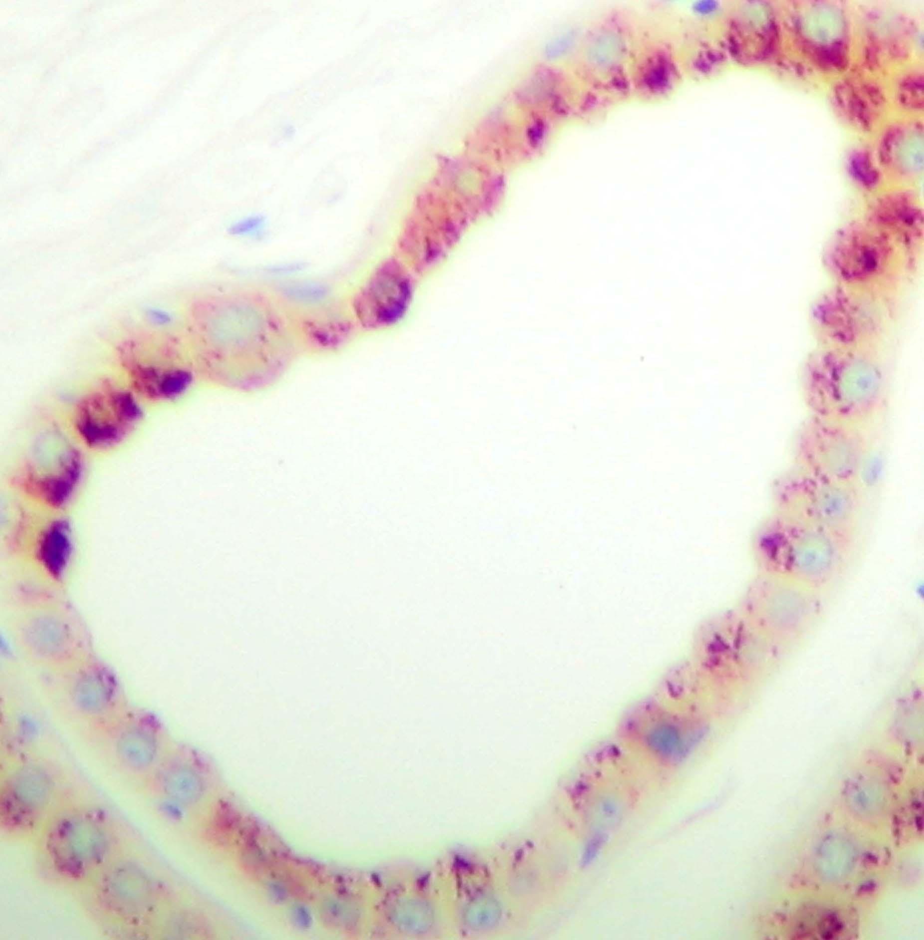 Anti Human PDGF BB Homodimer Antibody thumbnail image 2