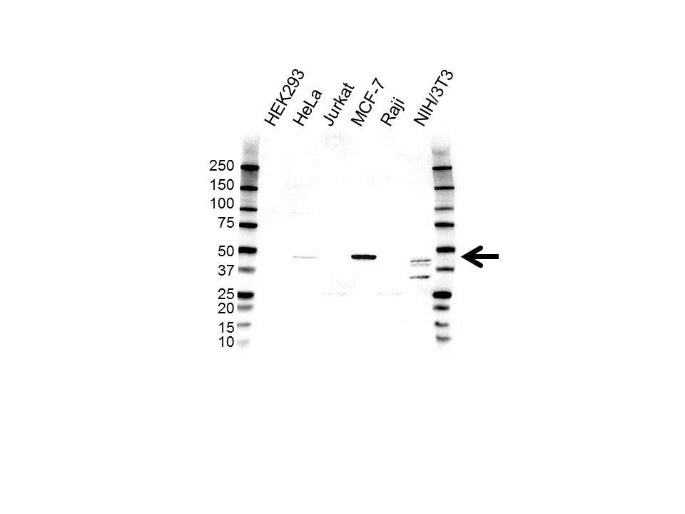 Anti PDGF-C Antibody (PrecisionAb Polyclonal Antibody) gallery image 1