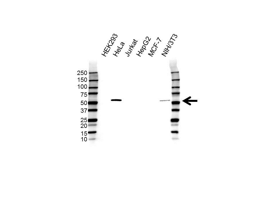 Anti PDLIM7 Antibody (PrecisionAb™ Polyclonal Antibody) gallery image 1