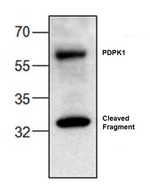 Anti PDPK1 Antibody gallery image 1